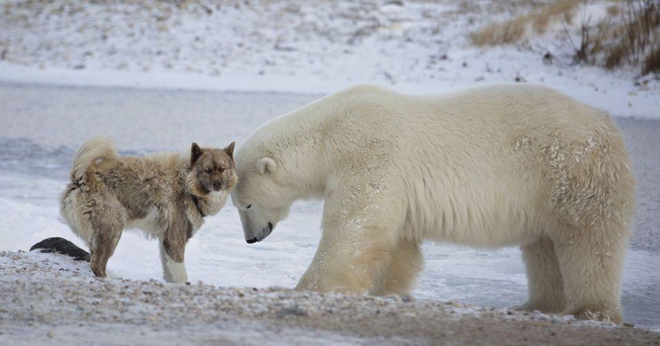 fauna polo norte