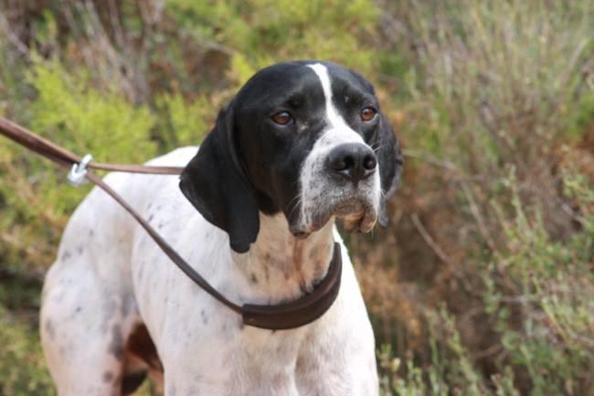 Los perros de caza no pueden hacer ejercicio por el Covid-19