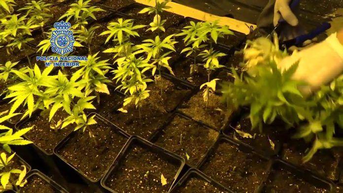 18 detenidos en una operación contra el tráfico de marihuana a gran escala