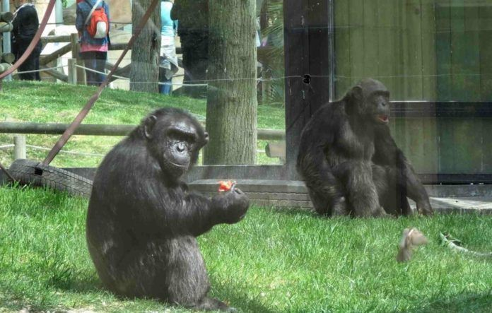 Un gorila ataca de gravedad a una cuidadora del Zoo de Madrid