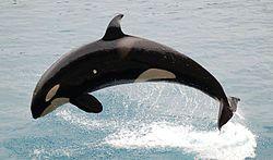 El impresionante vídeo de cómo las orcas vuelven a atacar un barco