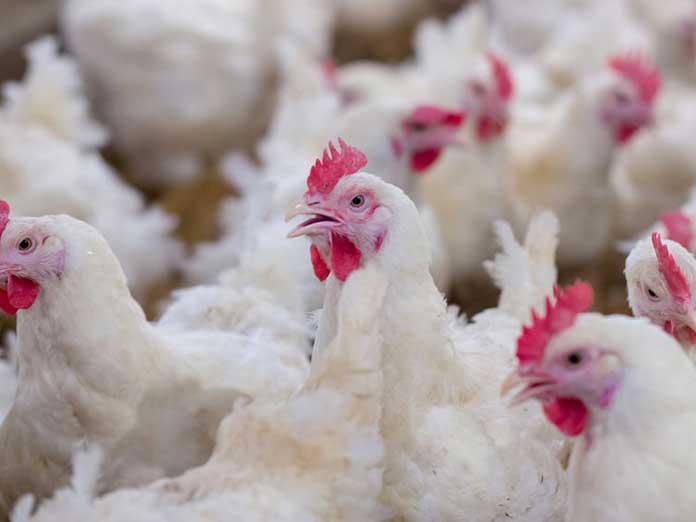 Azti lucha contra el campylobacter en las aves de corral