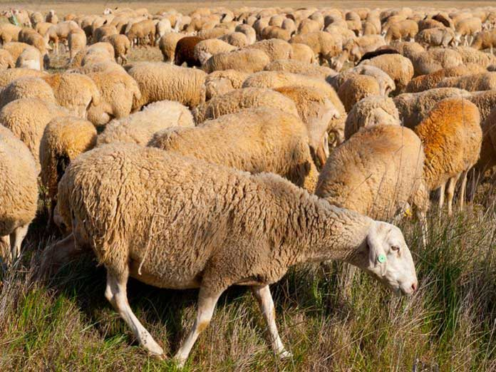 Brucelosis en ganado ovino en Aragón