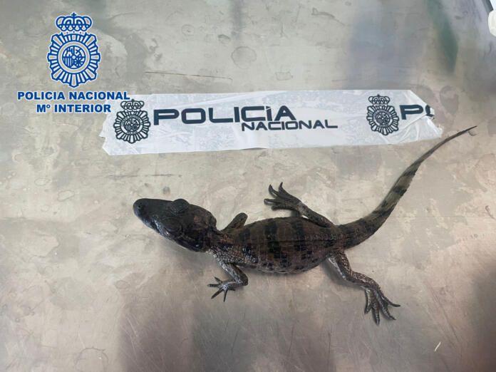 El caimán anteojos requisado por la Policía Nacional