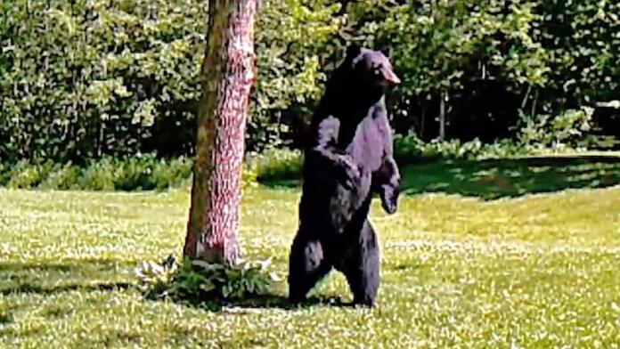 VÍDEO: Las cámaras de seguridad graban a un oso caminando sobre dos patas en el jardín de su casa